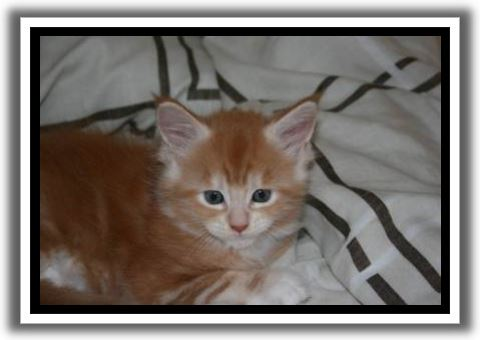 Red Silver Tabby with White